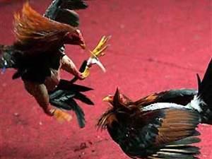 Cockfight