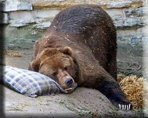 Hibernate Bear
