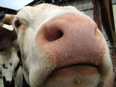 Sharp eyed soft nosed cow, with shallow dof