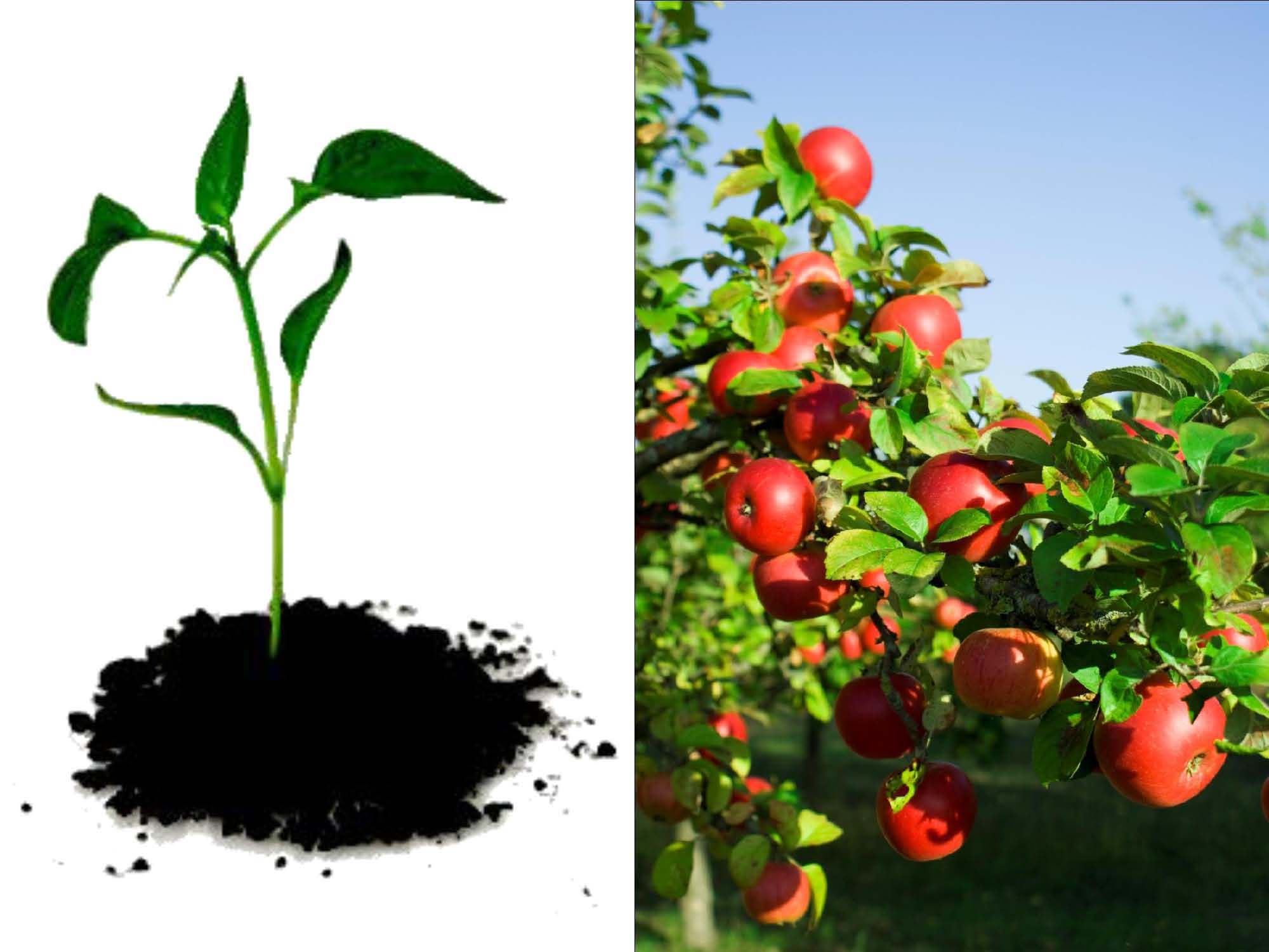 Dividends from sapling to abundant fruit tree investing for Tree sapling